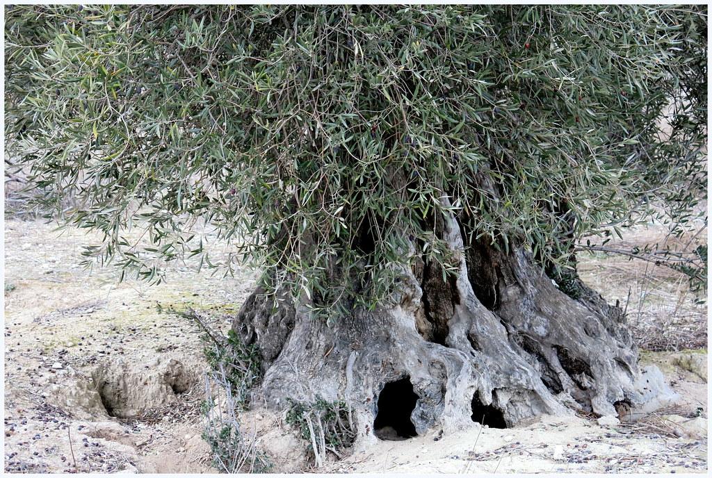 el olivo centenario, amparo de los conejos... nueva letra del himno conejil