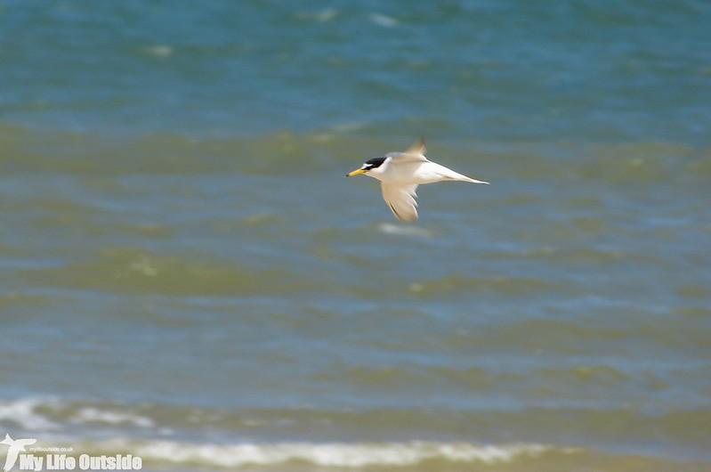 P1130596_2 - Little Tern, RSPB Titchwell