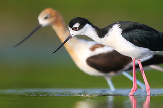 Stilt vs Avocet | by timjhopwood