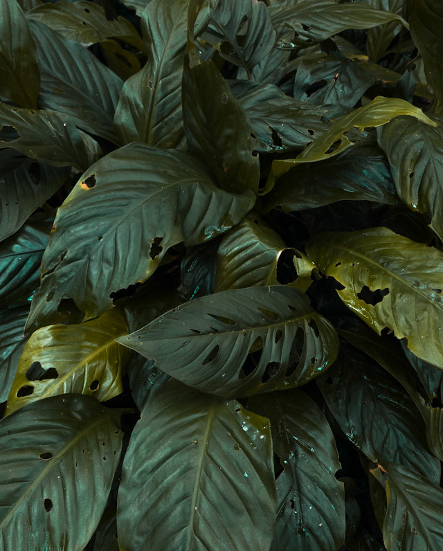 big leaves in conservatory