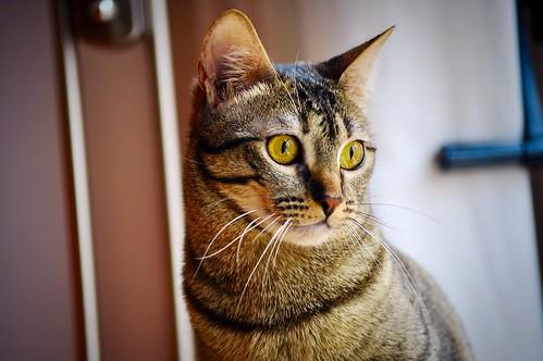 Muriel, gatita atigrada parda tímida y dulce esterilizada, de ojos cobrizos, nacida en Abril´16, en adopción. Valencia. 33245783015_f5b225a339