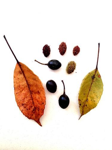 Elaeocarpus eumundi IMG_7241