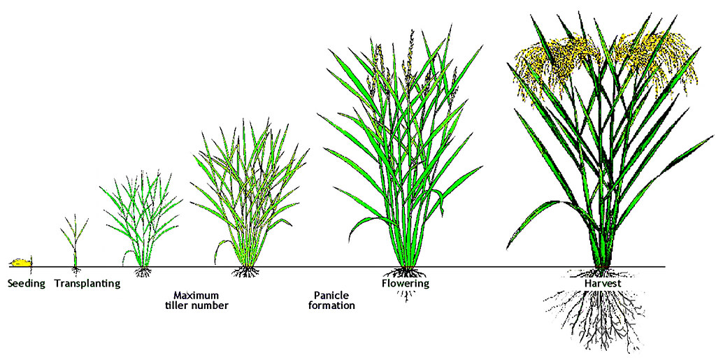 Growth of Rice