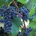 2013 Petit Verdot Grapes Veraison at Jordan Winery
