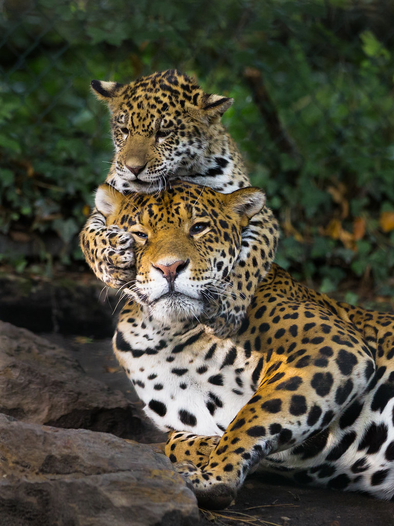 tropical rainforest jaguar cubs