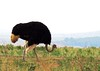 Asa Berndtsson - Common Ostrich - used on page: Work Life Balance