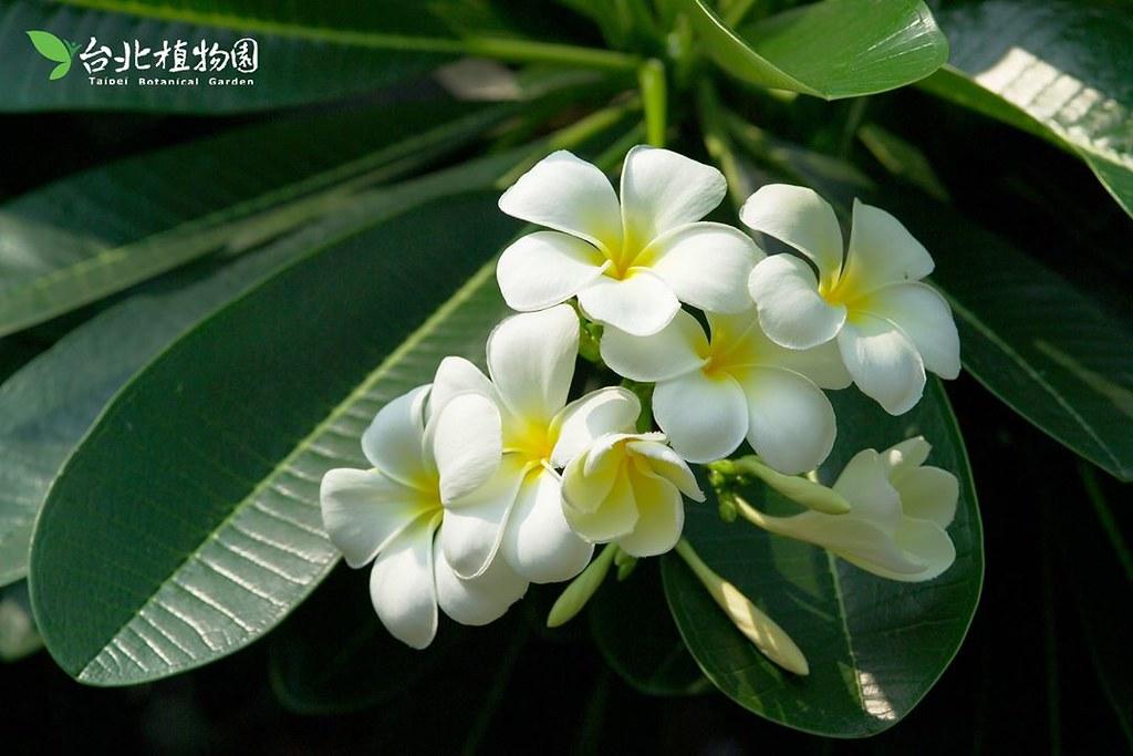 雞蛋花(鈍頭緬梔)。圖片來源:台北植物園。