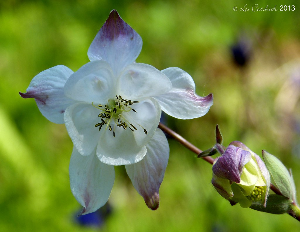 Wild columbine flower There were a few of these flowers be…