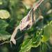 Winking chameleon
