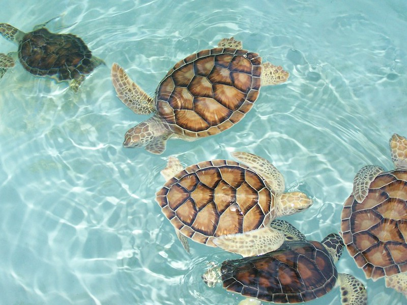 turtles xcaret