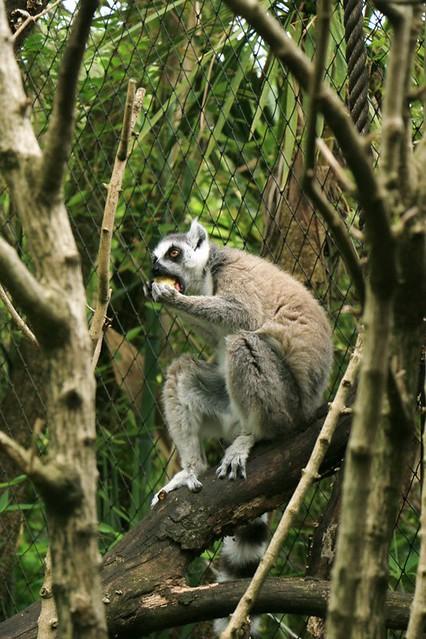 Zoo di Pistoia: lemuri