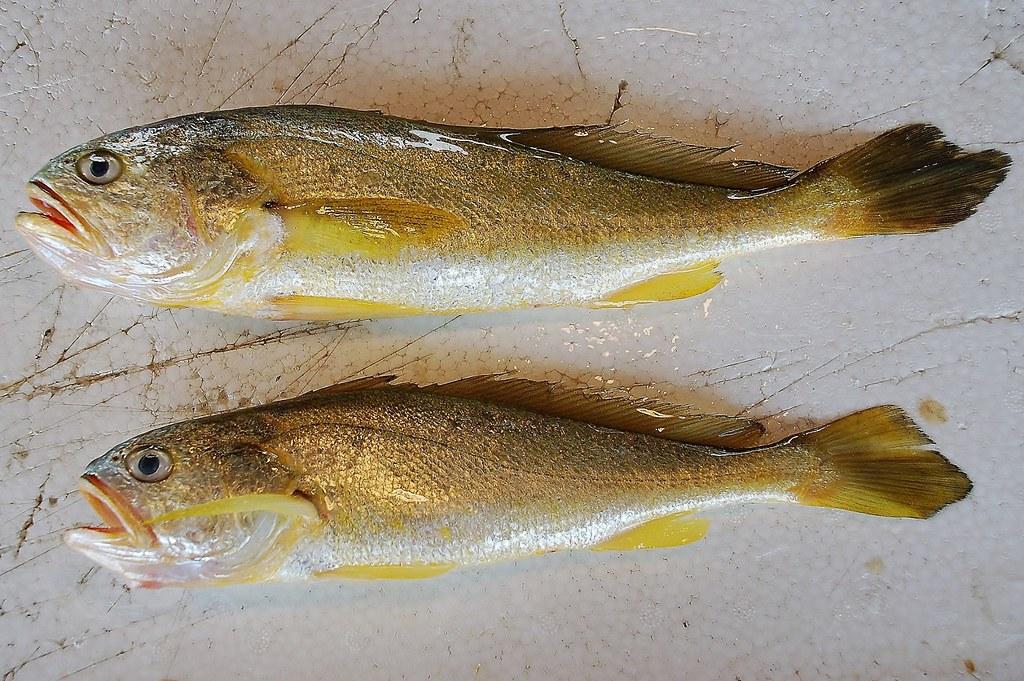 圖為臺灣西部海域捕撈的野生黃魚,過去牠們也曾活躍在臺灣沿海,大量的臨海工業區毀了牠們的家園。圖片來源:白尚儒。