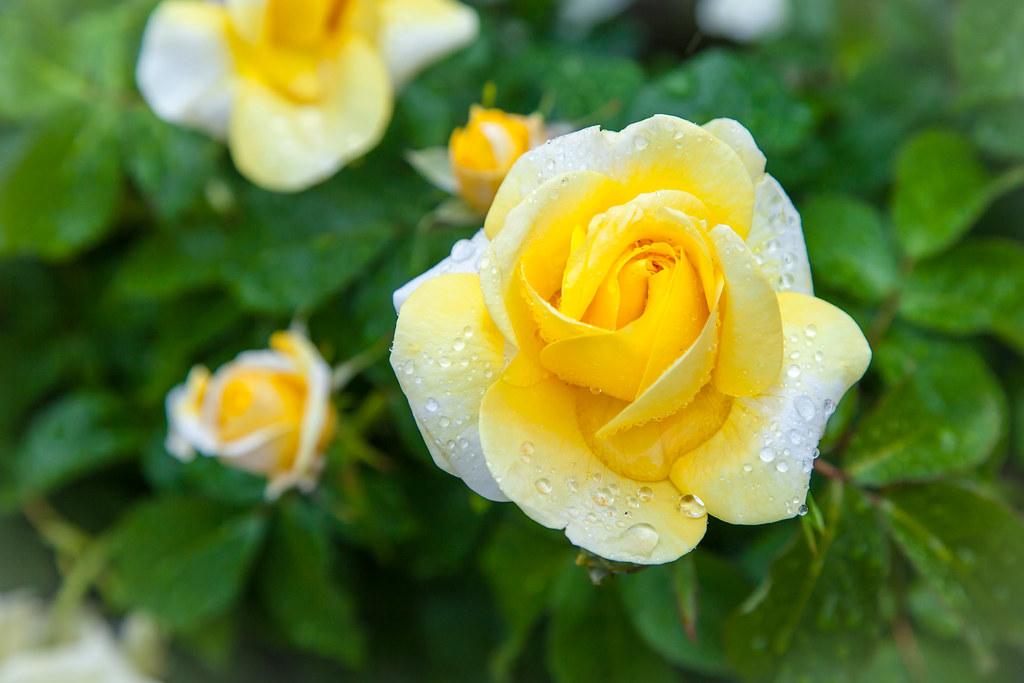 English rose garden wallpaper - Yellow Rose Of Portland Portland Test Rose Garden Flickr