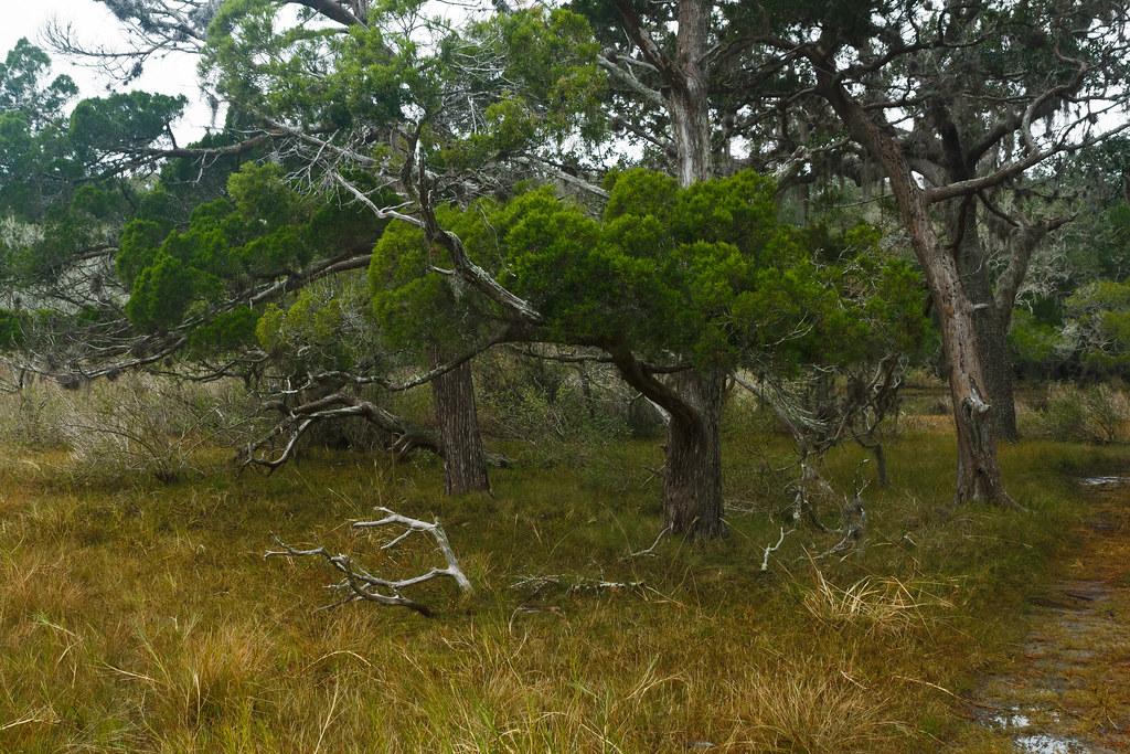 Juniperus Virginiana Eastern Redcedar South Point Loop