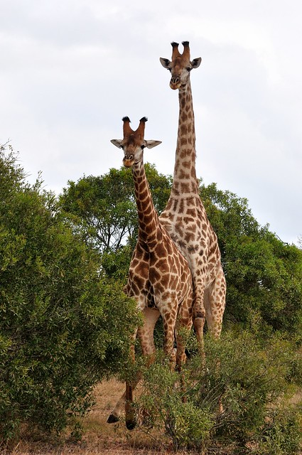 Giraffes mating?   Flickr - Photo Sharing!  Giraffes mating...
