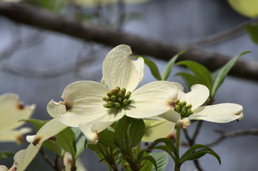 Photo Favorite: Dogwood Blossoms, West Central Arkansas, April 10, 2013 (Pentax K-r)