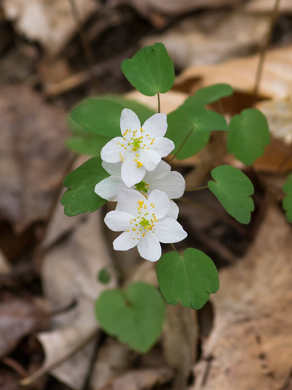 Flowers and leaves of Rue Anemone
