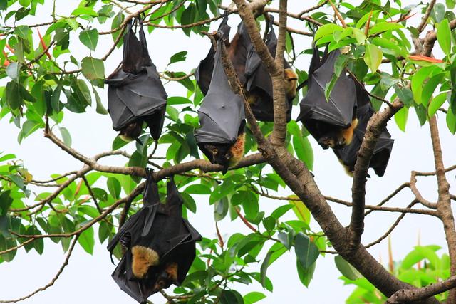 澳洲凱恩斯市立圖書館旁行道樹的黑狐蝠掛。攝影:賴鵬智