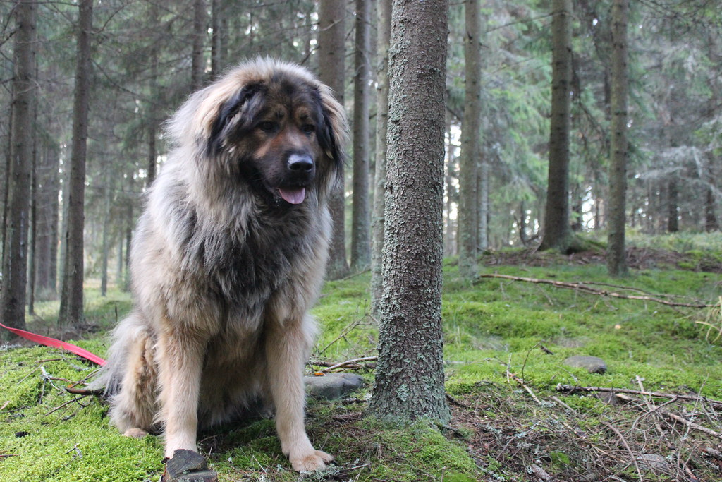 Tibetan mastiff and caucasian ovcharka mix | essiihh_ | Flickr