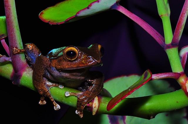 Ranomafana Frog in Madagascar