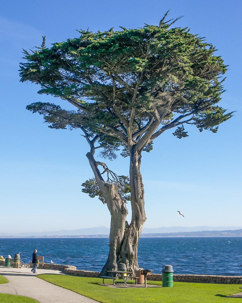 Monterey Cypress At Lovers Point Park Monterey Bay