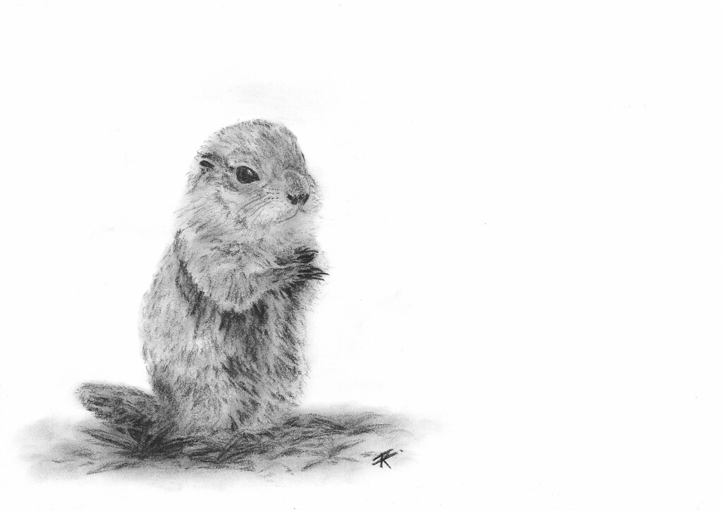 Groundhog Charcoal Drawing Kitty Terwolbeck Flickr