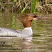 duck-merganser-0159
