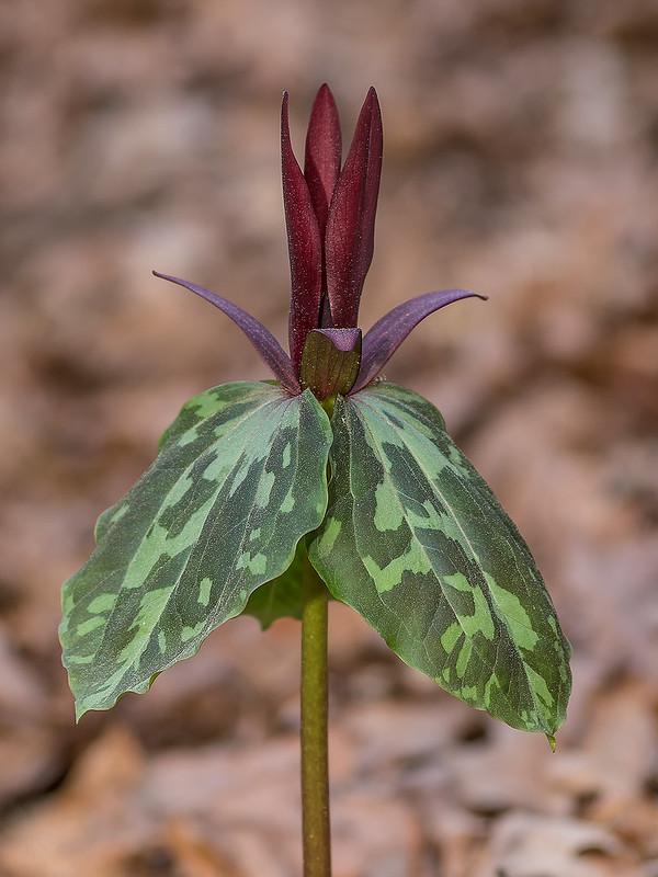 Spotted Trillium