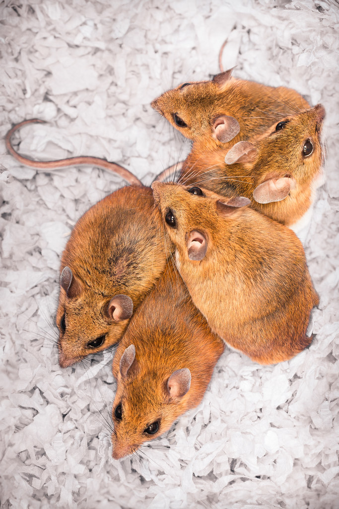 how to get rid of white footed mouse