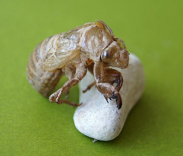 cicada nymph - photo #45