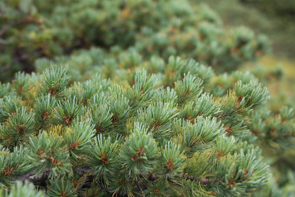 Siberian Dwarf Pine / Pinus pumila / 這松(ハイマツ)