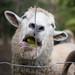 Sheep Eating Apple