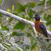 Yellow-mantled Weaver (Ploceus tricolor)