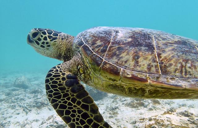 Guinea-Bissau Green Sea Turtles