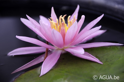 Waterlelie Perry's Cactus Pink / Nymphaea Perry's Cactus Pink