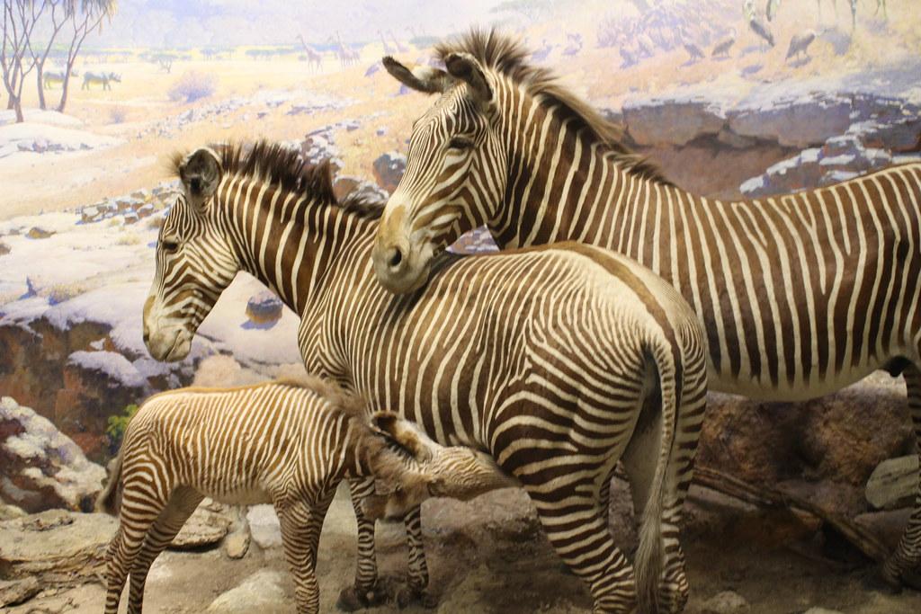 Zebra diorama, American Museum of Natural History, New Yor ...