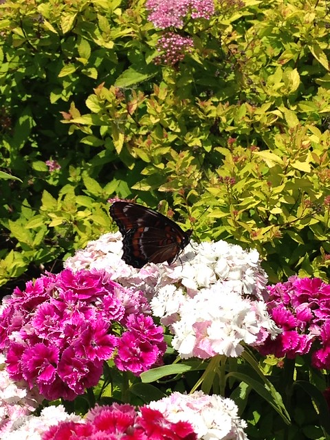 Butterfly on the sweet william