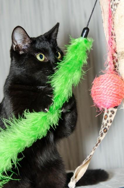 Morgana, gatita negra monísima, juguetona y tímida esterilizada, nacida en Julio´16, en adopción. Valencia. ADOPTADA. 32717408181_54f083576d_z
