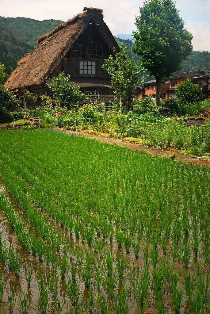 Rice Field In Shirakawa Go A Gasshō Zukuri Quot Prayer