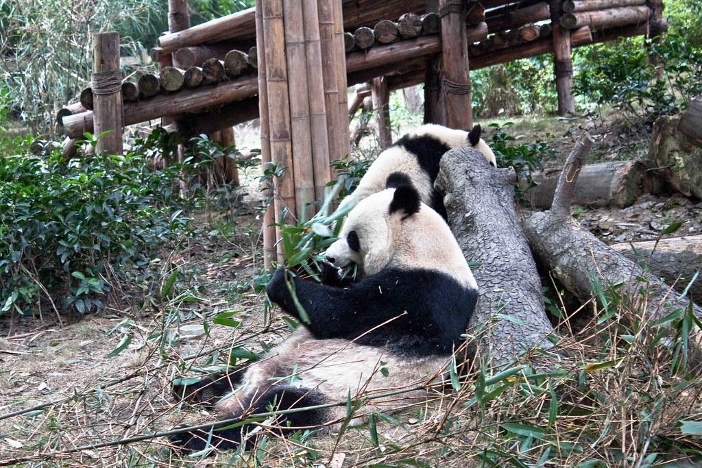 Oso Panda Come Bambú En La