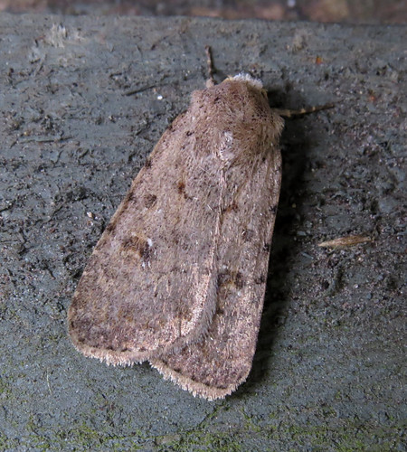 Pale Mottled Willow Caradrina clavipalpis Tophill Low NR, East Yorkshire June 2015