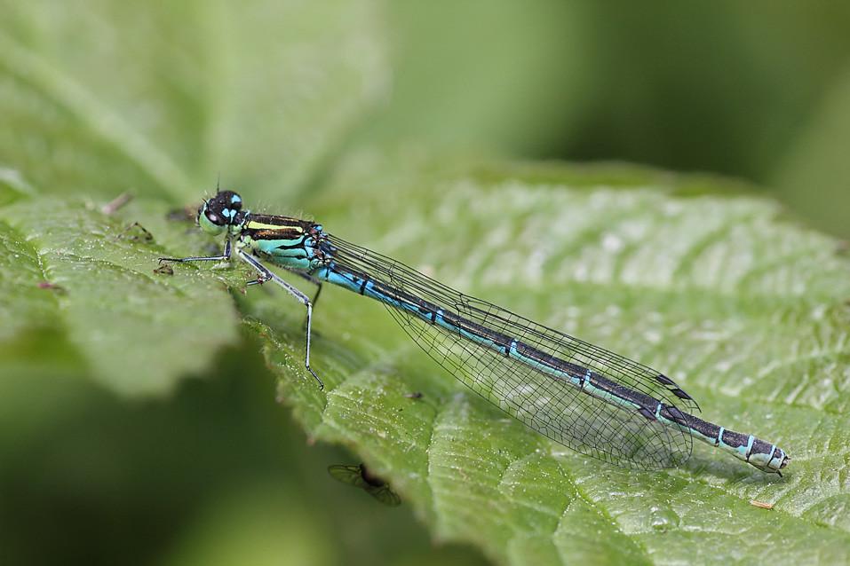 azure damsel flies fly - photo #21