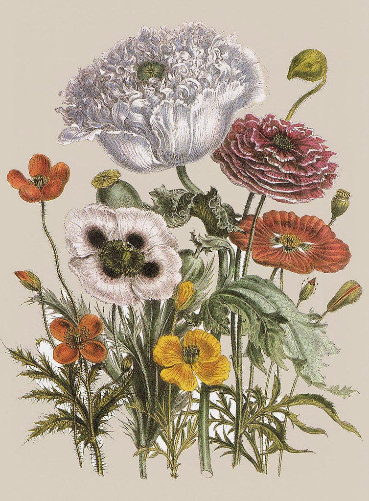 """Exotic Botanicals"" - 'Papaver horridum, Papaver setigerum ..."