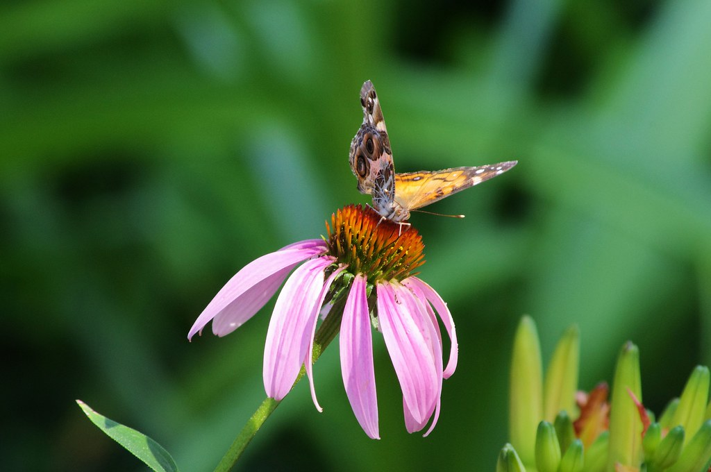 Photo Favorite: American painted lady butterfly on purple coneflower, West-Central Arkansas, June 25, 2011 (Pentax K-r)
