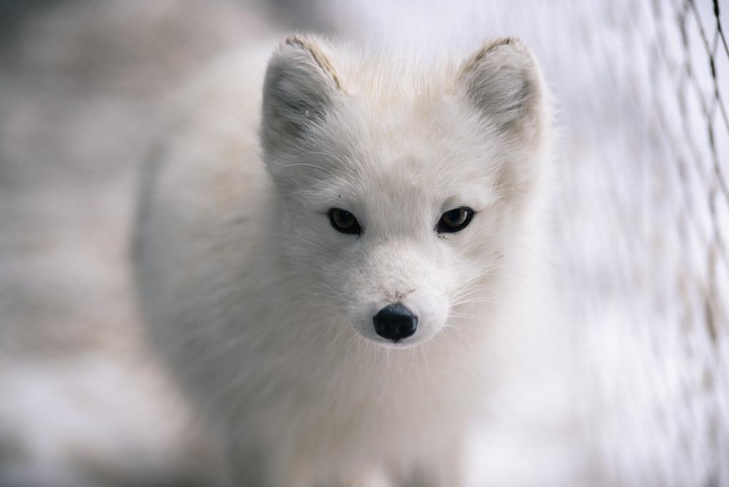 Arctic Fox Camoflauged Eric Kilby Flickr