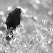 Red-winged blackbird, black & white