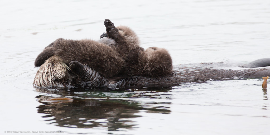 Category: Sea Otter Reintroduction to Oregon