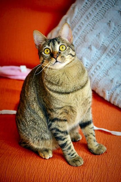 Muriel, gatita atigrada parda tímida y dulce esterilizada, de ojos cobrizos, nacida en Abril´16, en adopción. Valencia. 33204130806_07464c27aa_z