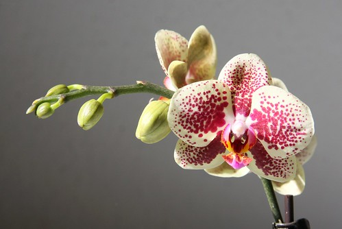 phalaenopsis hybride gefleckt juli 2013 canon eos 40d ef s flickr. Black Bedroom Furniture Sets. Home Design Ideas