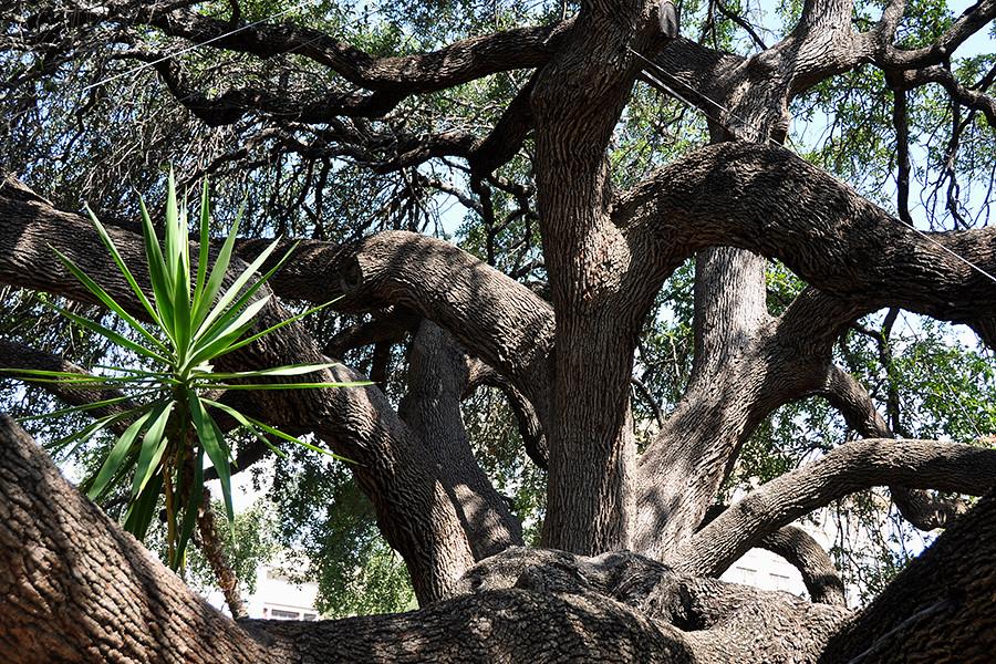 San Antonio Live Oak Tree At The Alamo Old Trees